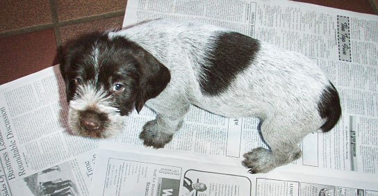 wirehaired pointed griffon puppy